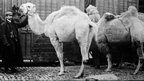 Man and camels