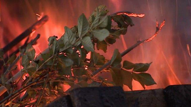 Burning healthy ash trees