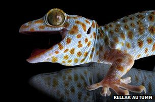 Gecko adhesion