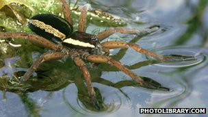 Dolomedes fen raft spider