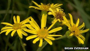 Fen ragwort