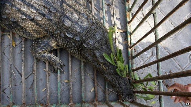 Crocodile captured in Gaza