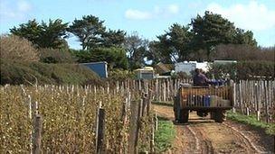 Vineyards in Sark