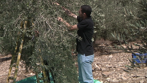 Palestinian picking olives