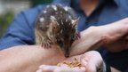 Northern quoll eating mealworms