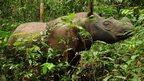 Andalus, Sumatran rhino