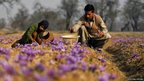 Abdul Rashid and his daughter Ishrat Rashid collect saffron flowers