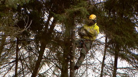 Workers cut down trees along the power route - sometimes the trees they are clinging to