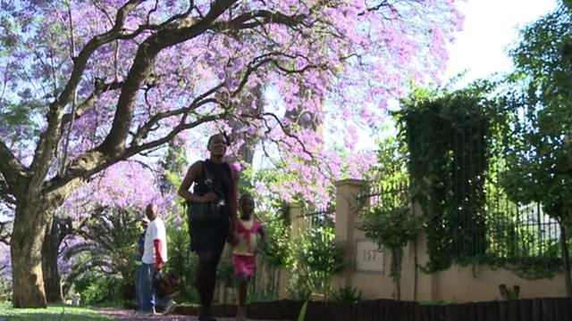 People walking past jacaranda in park