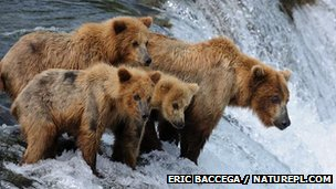 Grizzly bears learn to catch salmon