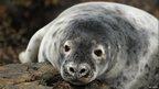 Grey seal pup by Ade Owens