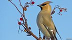 Waxwing by Anthony Pope