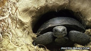 Gopher tortoise copyright 2009 photolibrary.com