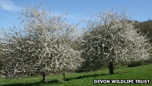 Cherry Trees - Pic: Devon Wildlife Trust