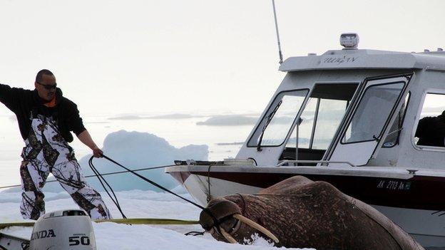Man dragging a walrus