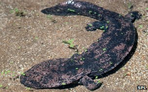 Chinese giant salamander (c) Science Photo Library
