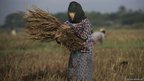 A woman harvests rice in a paddy field on the outskirts of Bago, north of Yangon.