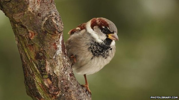 House sparrow