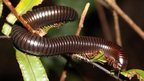 Seychelles giant millipede