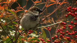 A house sparrow