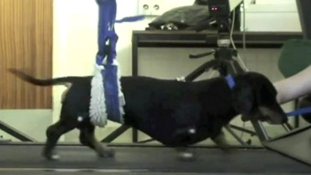 Dachshund Jasper on a treadmill
