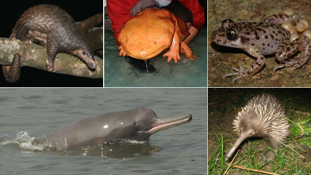 Montage of evolutionarily distinct and globally endangered creatures (Clockwise from top left: Sunda pangolin, Chinese giant salamander, Mallorcan midwife toad, long-beaked echidna and Ganges river dolphin)