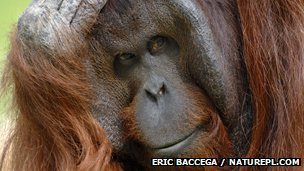 Bornean orangutan with hand on head