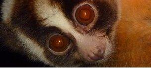 Slow Loris (Nycticebus javanicus)