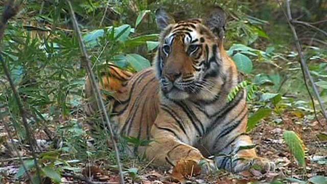An Indian tiger