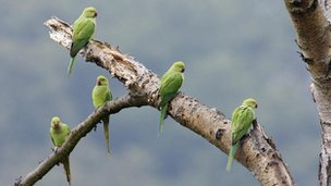 Rose-ring necked parakeets