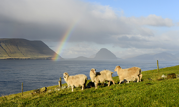 Sheep on Faroe Islands