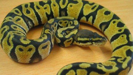 Lulu the snake