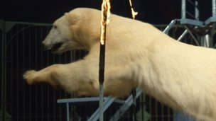 A polar bear jumps through a flaming hoop during a circus show in the 1960s