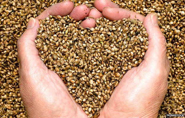 Hand holding hemp seeds