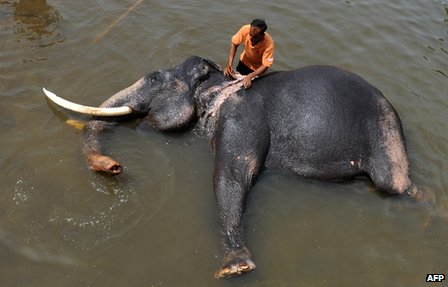 Staff member washing an elephant at the Pinnawela Elephant Orphanage in Sri Lanka