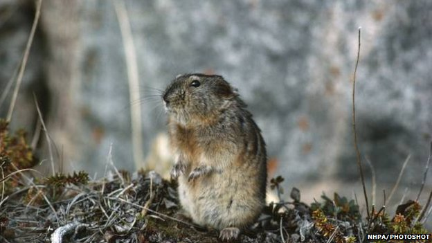 Collared lemming (Dicrostonyx torquatus)