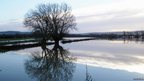 Two large trees in a flooded field.