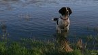 Dog in a flooded field