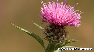 Black knapweed Pic: Devon Wildlife Trust