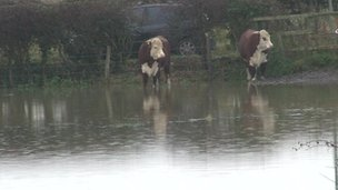 Cows in flooded Dorchester field