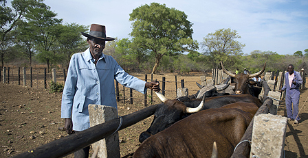 Cattle farmer in Zimbabwe