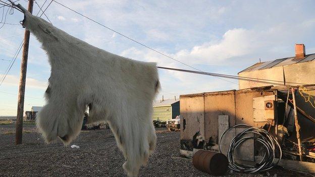 Polar bear skin on a washing line