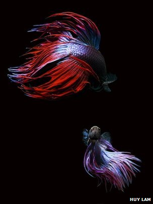 Siamese fighting fish face off