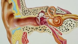 Anatomical cross-section of human ear