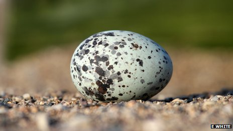 Guillemot egg