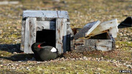 Guillemot in a box nest