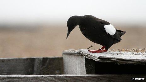 Guillemot inspecting a nest site