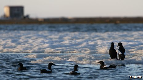 Guillemots on ice