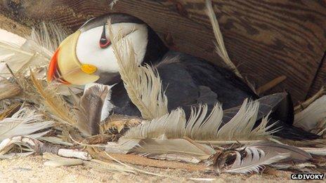 Puffin in nest