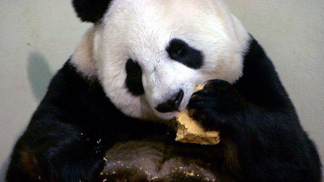 Panda eating a cake